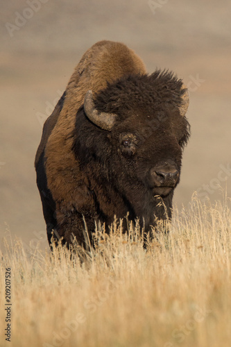 Foto op Canvas Bison American Bison in Yellowstone
