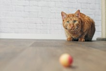 Cute Ginger Cat In The Lurking.
