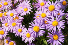 New York Asters Or Aster Novi-belgii Many Violet Flowers