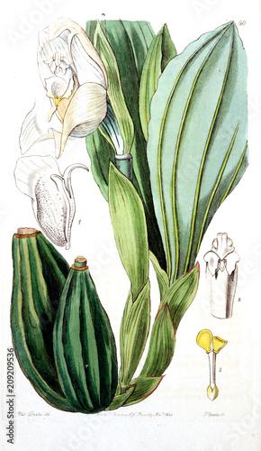 Garden Poster Oceania Illustration of plant