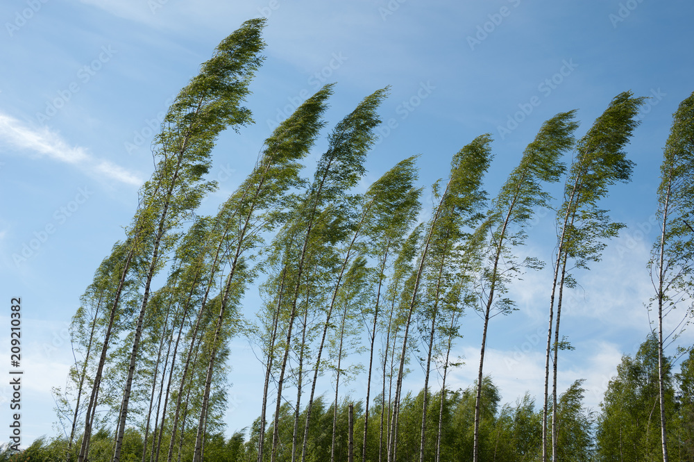 Fototapeta Wind blowing birch trees