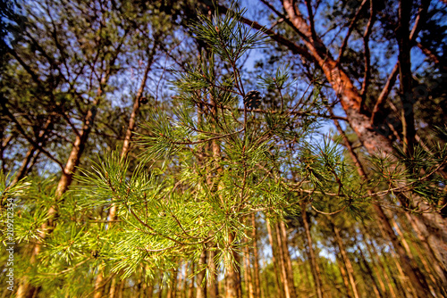 Fotografie, Obraz  Scots pine, young, green shoots in spring