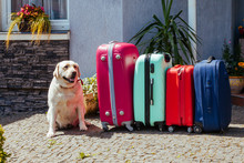 Labrador Suitcase Isolated Baggage Luggage Vacation Gold Multicolored Pink Blue Ready Holiday Summer Dog Pet Animal Expectation