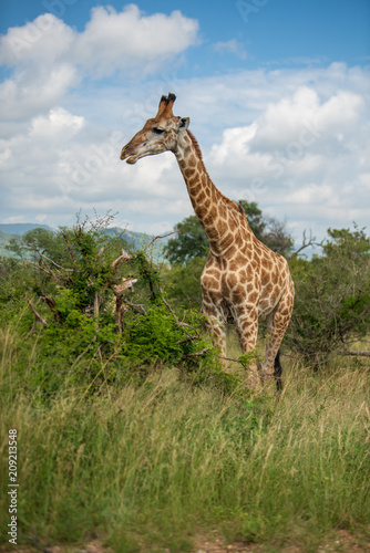 Spoed Foto op Canvas Giraffe South African giraffe (Giraffa, G. camelopardalis) Family of giraffes standing on a hill in the thick lowveld, Pilanesberg National Park, Kalahari and lowveld, South Africa