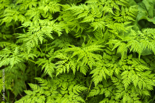Fotobehang Bloemen floral background - green leaves of сhaerophyllum (parsnip chervil)