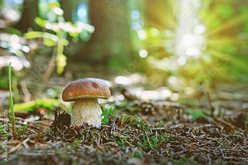 Porcini mushroom in the autumn forest. Wallpaper Mural