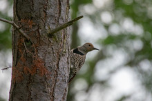 A Female Northern Flicker At H...