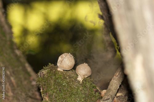 Fotografie, Obraz  Vesse de loup expulsant ses spores en sous bois