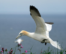 Gannets At High Chalk Cliff Br...