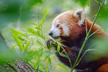 Cute Red Panda, Ailurus Fulgens, Eating Fresh Green Bamboo Leaves