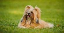 Shih Tzu Dog Outdoor Portrait ...