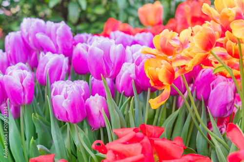 field of blooming colorful tulips, spring flowers in the garden
