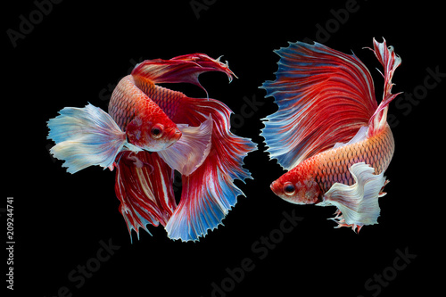 Cuadros en Lienzo The moving moment beautiful of red half moon siamese betta fish or dumbo betta splendens fighting fish in thailand on black background