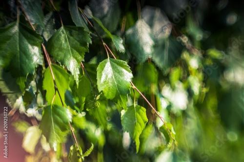 zielone gałązki brzozy - 209250722