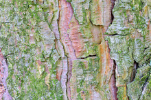 Amazing Detailed Closeup Texture Of Tree Bark Texture Pattern. Natural Woody Pine Tree Bark . Natural Background With Pine Tree Bark Covered With Moss And Lichen