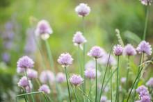 Purple Flower Of Wild Chives, Flowering Onion, Garlic Chives,  . Latin Name Is Allium Schoenoprasum.