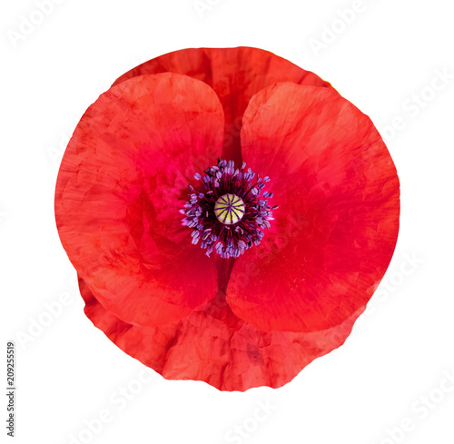 Flower of poppy on white isolated background remembrance day anzac flower of poppy on white isolated background remembrance day anzac day serenity mightylinksfo