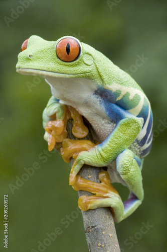 Foto op Aluminium Kikker Red-eyed Tree frog (Agalychnis callidryas) in Rainforest
