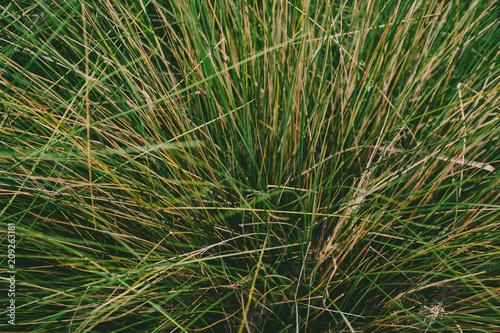Fotografie, Obraz  Green, yellow, fresh grass. Bush of long grass. View from above