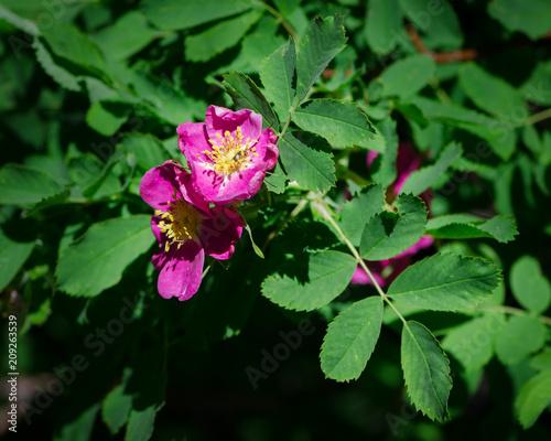 Fotografia, Obraz  Wood's Wild Rose