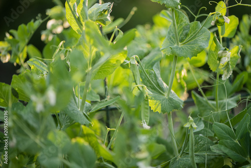 In de dag Narcis Selective focus on fresh bright green pea pods on a pea plants in a garden. Growing peas outdoors and blurred background.