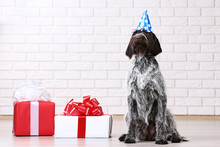German Pointer Dog Sitting On The Floor With Gift Boxes