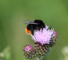 Close Up Of Red Tailed Bumblebee (Bombus Lapidarius), Collecting Nectar From A Creeping Thistle Flower In Spring