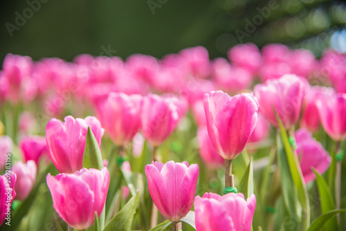 In de dag Candy roze image of Pink tulips Flower. Beautiful bouquet colorful in the garden