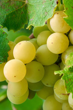 Green Grapes In Vine Yard On G...
