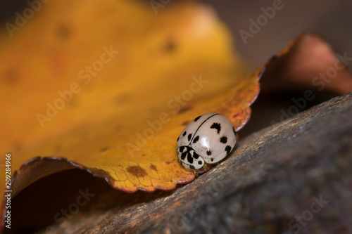 Fotografie, Obraz  Gray Asian Ladybug on Yellow Autumn Leaf Against Metal Post