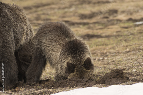 Grizzly bear sow & cub digging for ground squirrels;  Yellowstone NP;  Wyoming Poster
