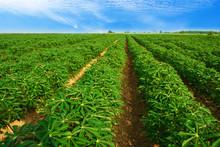 Cassava Plantation Northeast O...