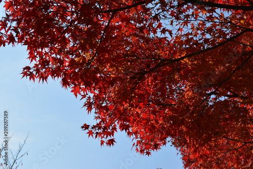 Keuken foto achterwand Rood paars 【京都】紅葉_燃ゆるようなもみじ_3