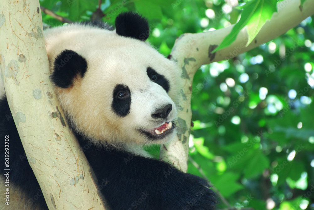 close up on young panda climbing up on the tree