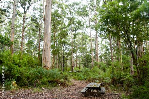 Fototapeta Karri Trees in Gloucester National Park - Pemberton - Australia