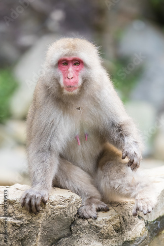 Staande foto Aap Jigokudani Monkey Park , monkeys bathing in a natural hot spring at Nagano , Japan