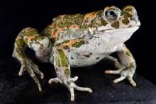 Italian Green Toad (Bufotes Ba...