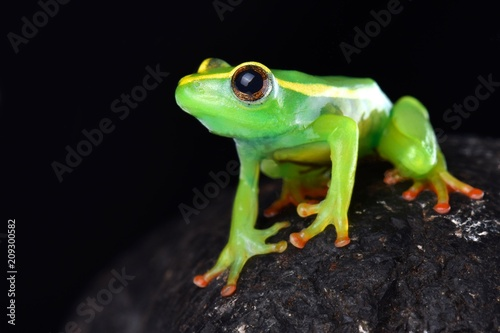 Staande foto Kikker Riggenbach's reed frog (Hyperolius riggenbachi)