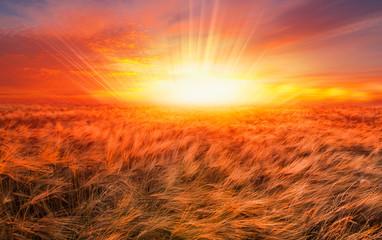 Fototapeta Wschód / zachód słońca Sunrise over the wheat field