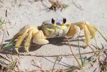 A Crab On The Beach, Atlantic Ghost Crab, Ocypode Quadrata. Galveston Island, Texas Gulf Coast, Gulf Of Mexico, USA.