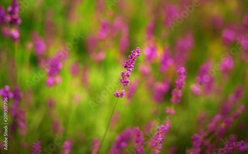 Fotobehang Lavendel lavande