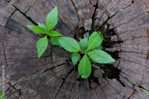 Plant growing through of trunk of tree stump Poster