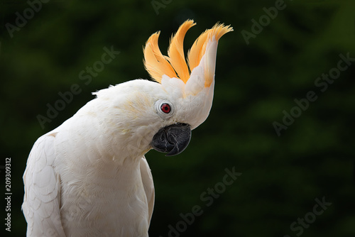 A close up of a citron-crested cockatoo against a dark back ground with its head feathers erect displaying and looking down to the right with text space