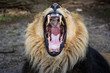 Asiatic lion yawning