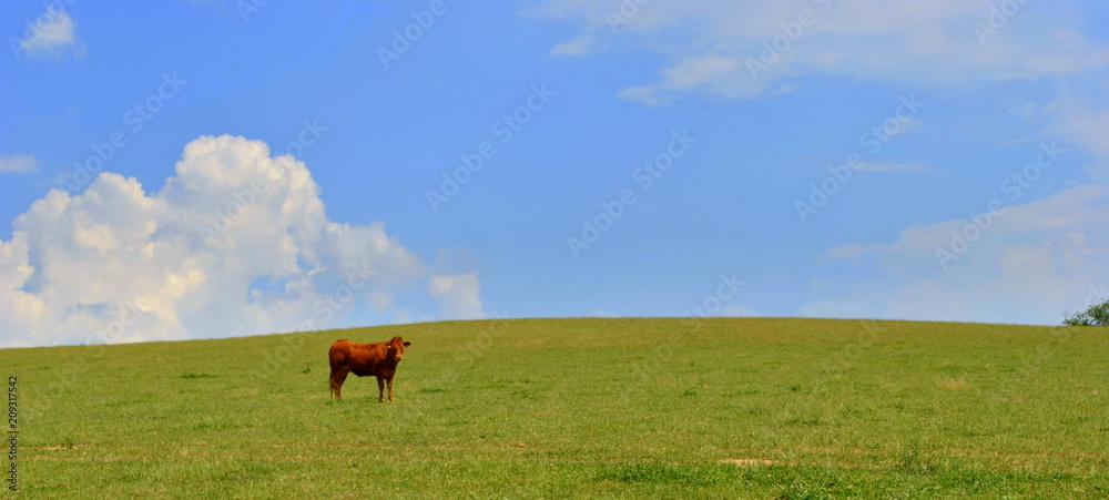 Fototapeta Krowa na pastwisku