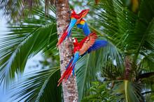 Two Ara Macao, Scarlet Macaw, ...