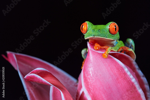 Tuinposter Kikker Agalychnis callidryas,tropical Red-eyed tree frog, non-toxic,colorful arboreal frog with red eyes and toes,vibrant green body and blue feets,staring from pink heliconia flower. Rainforest wildlife.