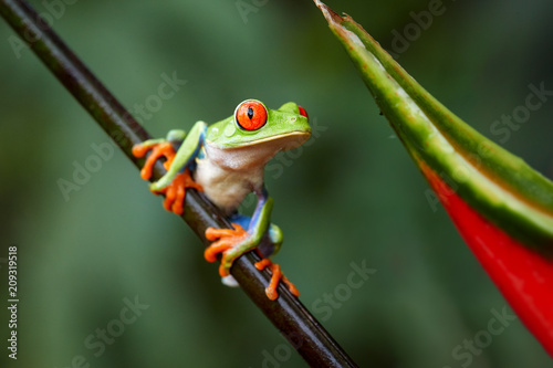 Tuinposter Kikker Agalychnis callidryas,tropical Red-eyed tree frog, non-toxic,colorful arboreal frog with red eyes and toes,vibrant green body and blue feets, sitting on diagonal twig against rainforest background