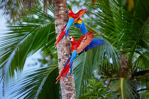 Two Ara macao, Scarlet Macaw, pair of big, red colored, amazonian parrots near nesting hole on palm tree, outstretched wings, long red tail against wet forest Wallpaper Mural