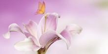 Pink Lily With Butterfly